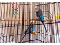 Two wee budgies, both male. Free to good home.