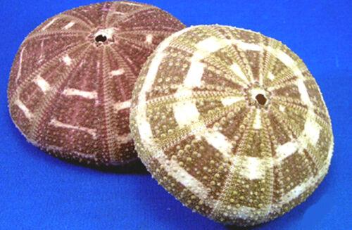 "2 Beautiful Small Alfonso Gator Sea Urchins 2 1/2"" Coastal Beach Crafts Decor"