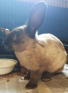 """Adult Male Rabbit - American Sable: """"Roger"""""""
