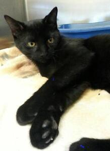 "Young Male Cat - Domestic Short Hair: ""Simba"""