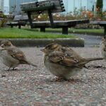 fatsparrows