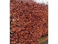 Copper Beech Hedging - Bare Root