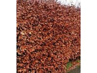 Beech Hedging - Copper - Bare root