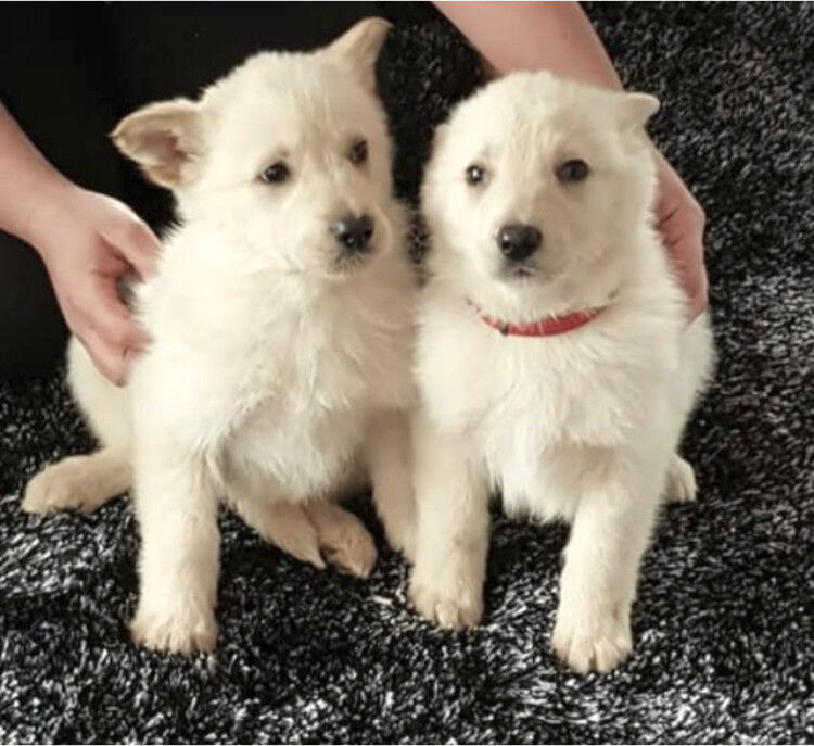 last white german shepherds puppy for sale in norwich