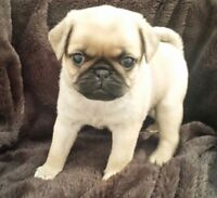 Looking for a female Pug