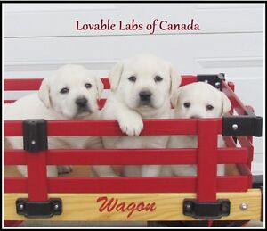 CHAMPION LINED CKC WHITE ENGLISH LABRADOR RETRIEVER PUPPIES
