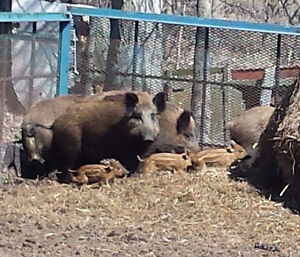 Wild Boar: Live or Killed whole animals, custom meat orders Kingston Kingston Area image 2