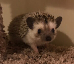 Sweetest baby Pygmy Hedgehogs ! Adorable pets. Ready to go.