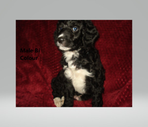 Holiday Bernedoodle puppies !!!!!! Reduced for Christmas Special
