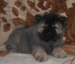 Purebred Chow Chow Puppies