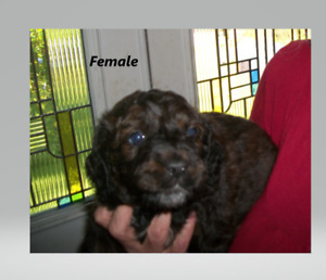 Puppies | Kijiji in British Columbia  - Buy, Sell & Save with