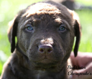 CKC Purebred Chesapeake Bay Retriever puppies!!