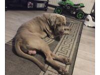 Beautiful 2 year old boy Neapolitan mastiff