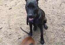 NUNU DRU Rescue Puppy Carina Brisbane South East Preview