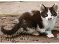 Siberian cross kittens ( English)