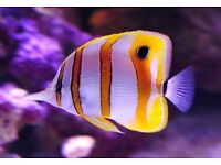 Copper band butterfly marine tropical reef fish aquarium