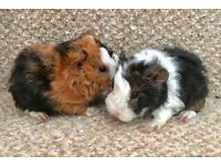 Pretty Lunkarya X Guinea Pigs - 1 LEFT TO RESERVE