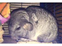 2 young chinchillas with cage and all accessories