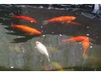 A 5 inch ghost koi and Six 5 - 7 inch goldfish (been spawning)