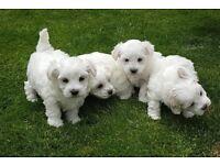 Puppis Maltese For Sale
