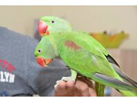 Baby Alexandrian talking parrots, Hand Tamed 3 4 month old babies