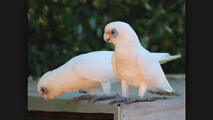 Wanted: WANTED - Female Short Billed Corella - please read well before reply