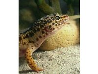Female Leppard gecko for sale