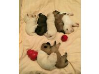 Akitamachow puppies