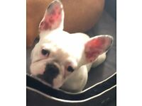 Beautiful French Bulldog Female For Sale