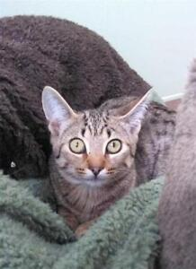 """Young Female Cat - Domestic Short Hair: """"Storm"""""""