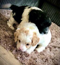 Adorable male Cavapoochon puppies