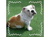 KC REG British Bulldog MALE