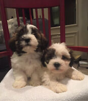Adorable Shi Poo puppies for sale