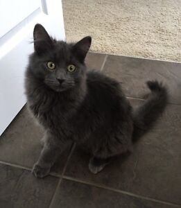 2 Beautiful Female Cats - 9 months old Strathcona County Edmonton Area image 2