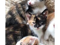 One female kitten for sale