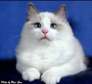 Wanted: Ragdoll Kitten Notting Hill Monash Area Preview