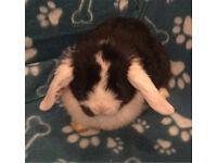 Lush baby mini lop boy