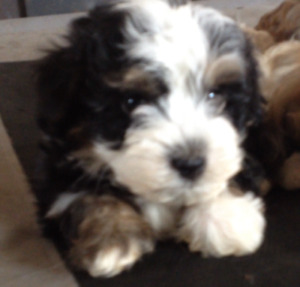 Adorable Havanese Puppies CKC registered -4 boys