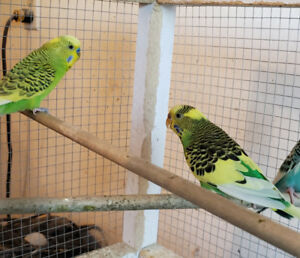 Beautifully coloured budgie  breeding pair.