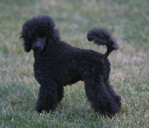 Poodle, Caniche or schnauzer   Big or small  for our family