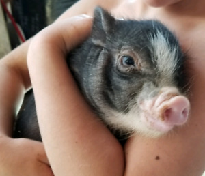 Adorable 8 week old MINI pig! Will be small!!