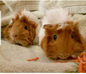 2 guinea pigs with large homemade enclosure