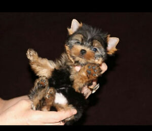 LOVELY PUREBRED TEACUP YORKSHIRE TERRIER PUPPIES