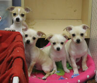 CUTE PUPPIES looking for a loving home