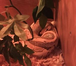 Mâle python royal butter pinstripe