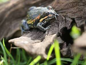 Banjo pobblebonk frog Highbury Tea Tree Gully Area Preview