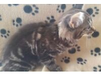 2 x long haired Maine coon X Bengal kittens ready