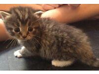 4 X male kittens