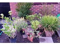 GARDEN PLANTS/SHRUBS x 9