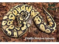 Various late cb16 Royal Python morphs